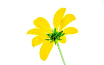 желтый, цветок, капли, лепестки, белый фон, эхинацея