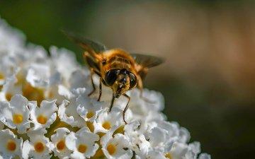 цветы, насекомое, муха, журчалка