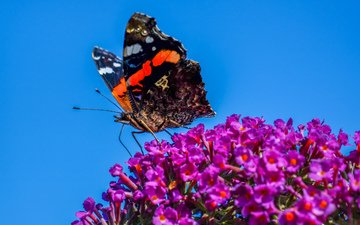 flowers, insect, butterfly