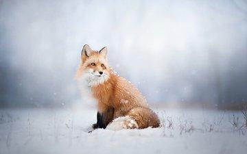 снег, зима, лиса, лисица, животное