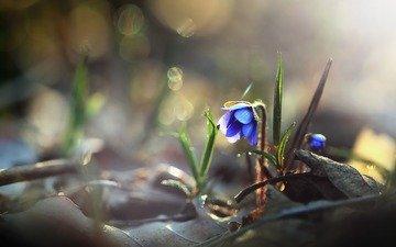 трава, макро, цветок, весна, боке, пролеска