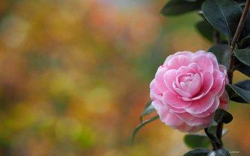 ветка, листья, цветок, лепестки, камелия