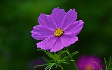 цветок, лепестки, размытость, космея