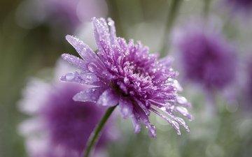 цветок, капли, лепестки, размытость, астра