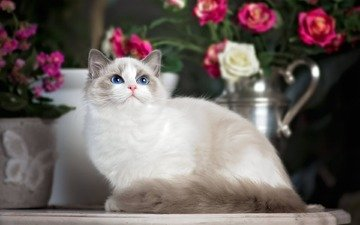 flowers, cat, roses, look, blue eyes, ragdoll