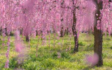 деревья, цветение, ветки, весна, сакура