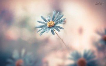 цветок, лепестки, размытость, маргаритка