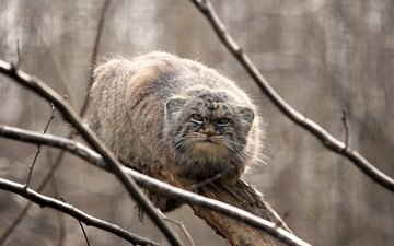 look, predator, manul, wild cat, on the tree, the pallas cat