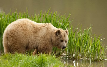 трава, вода, медведь, бурый медведь