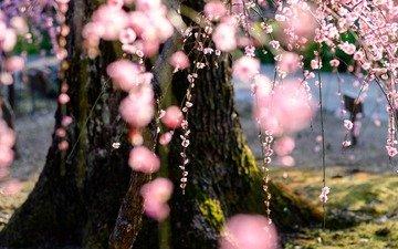природа, дерево, цветение, весна, сакура
