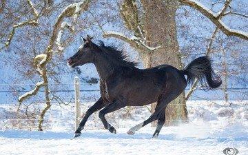 лошадь, зима, конь, грива, бег, жеребец, скакун, вороной, грация, (с) oliverseitz