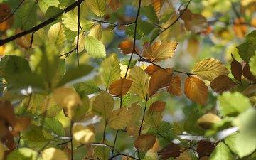 природа, листья, макро, ветки, осень, вяз