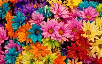 цветы, лепестки, разноцветные, маргаритки, tina logan, colored daisies
