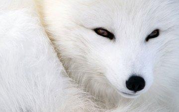 глаза, мордочка, взгляд, животное, песец, полярная лисица
