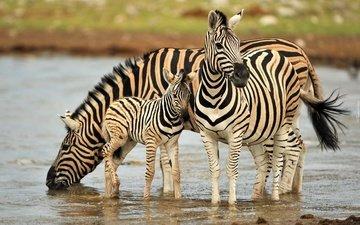 вода, зебра, животные, водопой, зебры