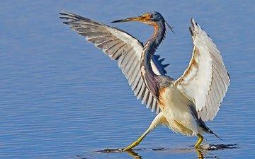 вода, крылья, птица, клюв, цапля