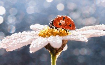вода, макро, насекомое, цветок, роса, капли, ромашка, божья коровка