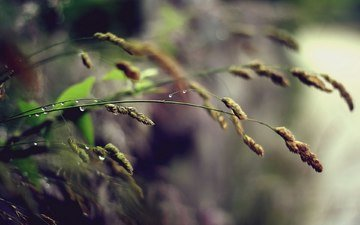 grass, nature, macro, background, rosa, drops, rain, spikelets