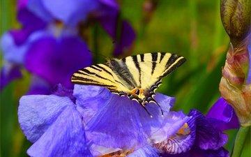 цветы, насекомое, бабочка, весна, синие, ирисы