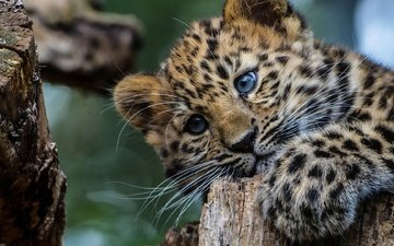 eyes, tree, look, leopard, big cat, leopards, cub