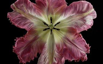фон, цветок, лепестки, черный фон, тюльпан