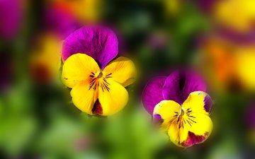 цветы, лепестки, размытость, анютины глазки, глазки, фиалки