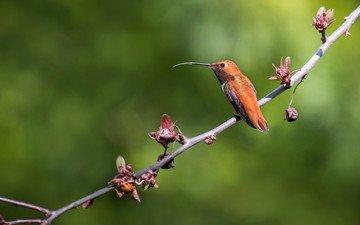 ветка, природа, фон, птица, клюв, перья, колибри