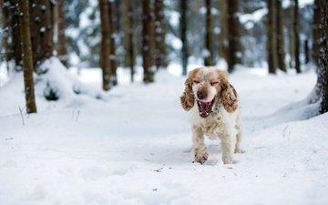 лес, зима, собака, спаниель, кокер-спаниель, christina sepúlveda
