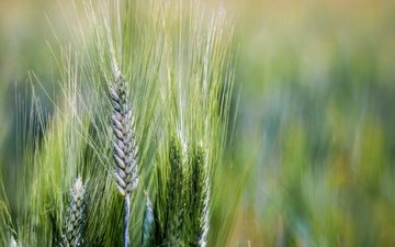 nature, macro, background, field, summer, spring, ears, wheat, spikelets
