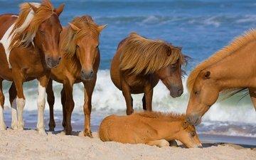 море, лошади, кони, жеребенок