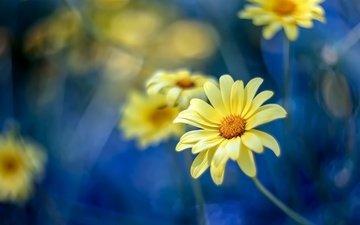 цветы, природа, размытость, весна, ромашки
