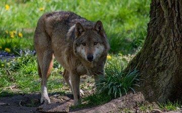 морда, природа, хищник, волк