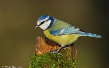 сидит, птица, синица