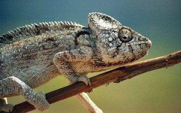 ящерица, хамелеон, пресмыкающееся