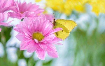 цветы, насекомое, лето, лепестки, бабочка