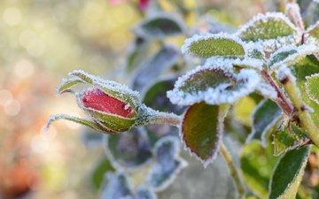 снег, листья, цветок, иней, роза, бутон