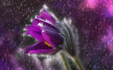 цветок, капли, весна, дождь, сон-трава, прострел