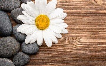 камни, цветок, лепестки, ромашка, спа