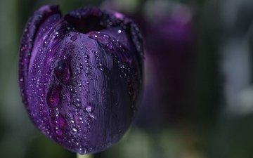 вода, макро, цветок, капли, фиолетовый, весна, тюльпан