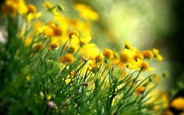 flowers, petals, spring, yellow, wildflowers