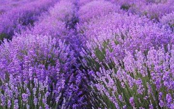цветы, поле, лаванда