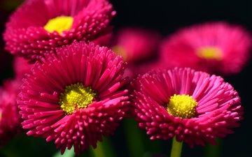 цветы, лепестки, маргаритки