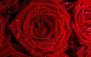 цветы, капли, розы