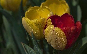 цветы, капли, тюльпаны