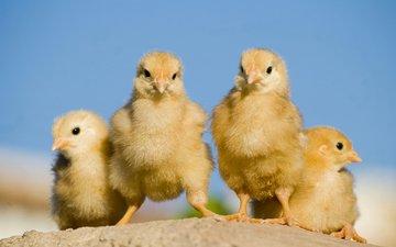 птицы, птенцы, цыплята, tamassio
