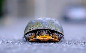 природа, фон, черепаха, панцирь