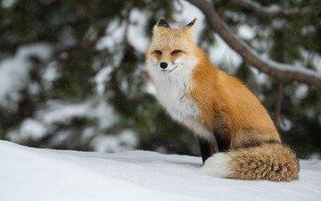 зима, лиса, лисица