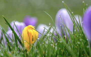цветы, трава, капли, весна, крокусы, wouter de bruijn