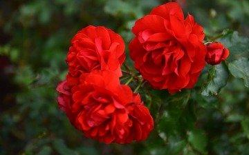 цветы, ветка, листья, макро, розы, красные розы