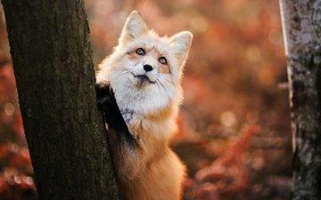 глаза, дерево, взгляд, лиса, хищник, лисица